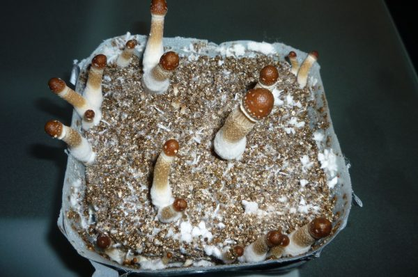Cooking Magic Mushroom can be  Different Experience Altogether
