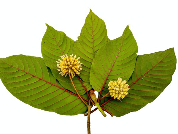 Risks of Kratom use – Check out the risks